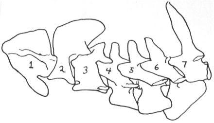 cervical vertebrae pig