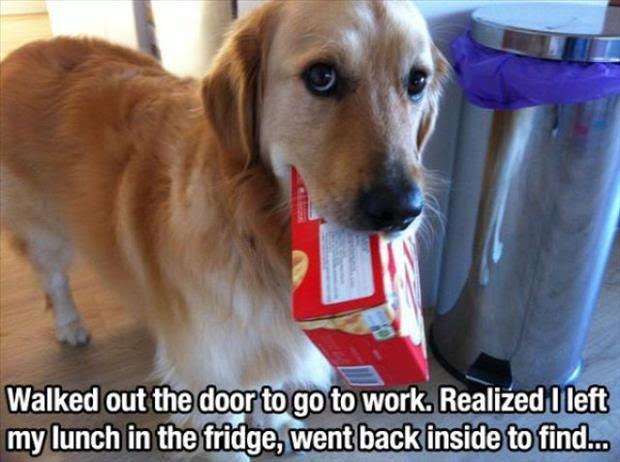 dog stole lunch, dog shaming, dogshaming, yellow lab stole lunch, yellow lab mix