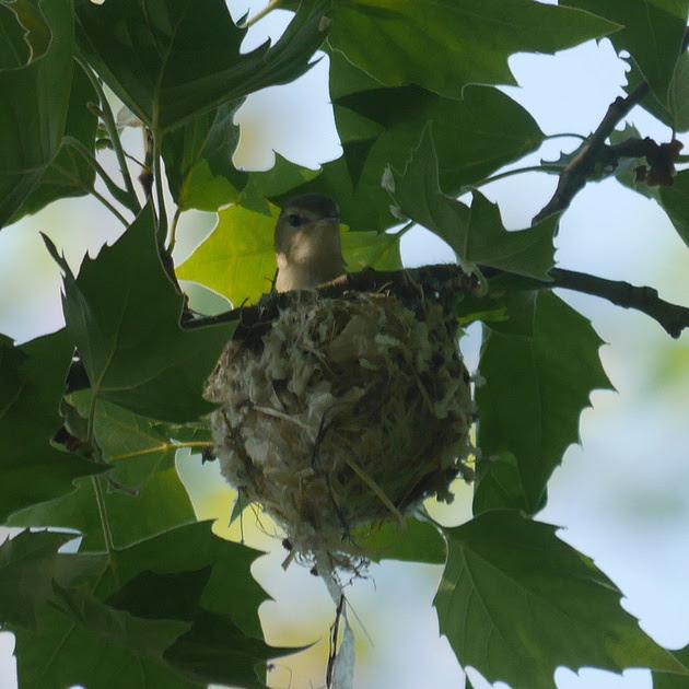 Ed Gaillard: birds &emdash; Warbling Vireo on nest, Central Park