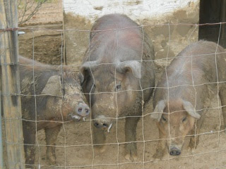 Fred the Duroc Boar with His Female Friends