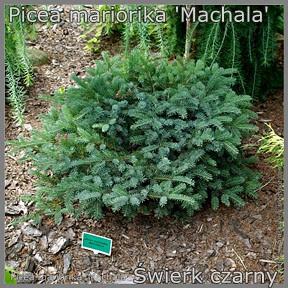 Picea mariorika 'Machala' - Świerk czarny