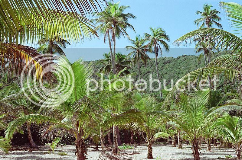 Puerto Rico, Contax G2, Film, 35mm, Tropical, Palm trees, Architecture, beach photo Palms_zpscz7h2icd.jpg