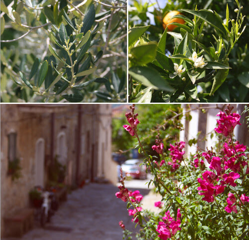 Olive tree, blooming orange & Roccagloriosa