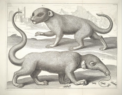 Albertus Seba cabinet of curiosities - anteater and mammal