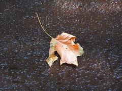 Leaf in fresh tar