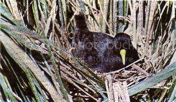"""Pg7-4, Above: BLACK CRAKE. Small, unmistakable. Bolder than the other crakes. Flies low over water, treads water plants like the jacana. Voice: deep, growling """"churr"""". Food: Insects, seeds, aquatic plants, snails, small fish. Usually in pairs or small parties. Commonest riverside rail."""