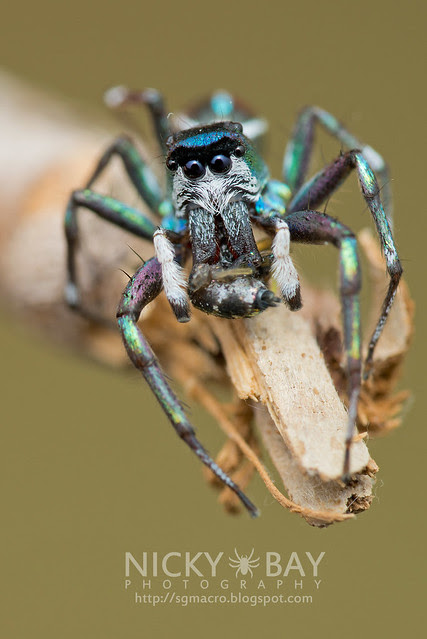 Jumping Spider (Salticidae) - DSC_2315