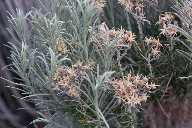 sagebrush flowers