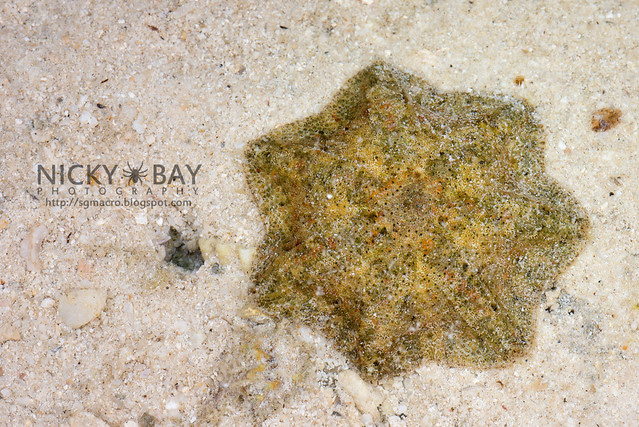 Cryptic Sea Star (Cryptasterina sp.) - DSC_6630
