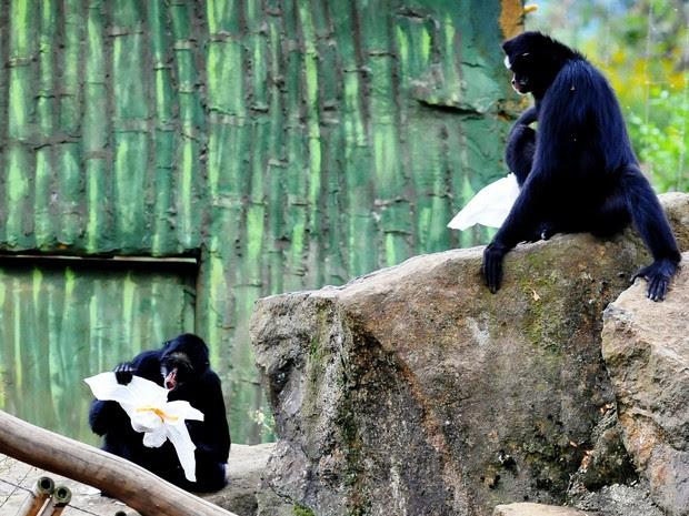 Macacos tiveram de procurar os 'ninhos' em seus viveiros (Foto: Halder Ramos/Divulgação, Gramadozoo)