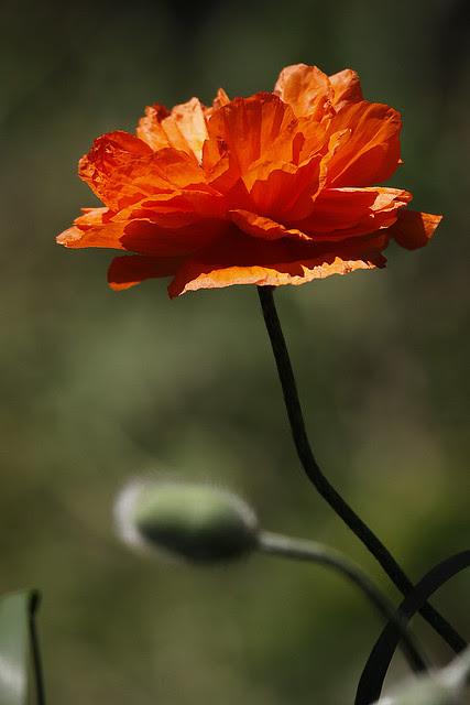 poppy bloom 3