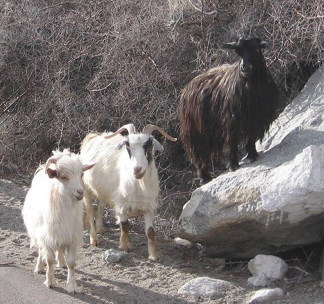 File:Pashmina goats.jpg