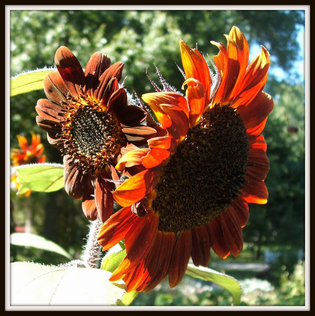 Prado Sunflowers by Angie Ouellette-Tower for godsgrowinggarden.com photo 010_zps412c46a9.jpg