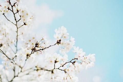 82+ White Cherry Blossom Wallpaper