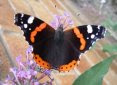 Red Admiral  butterfly, link to The Urban Wildlife Ring homepage