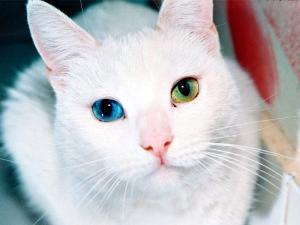 Ojos de un gato blanco
