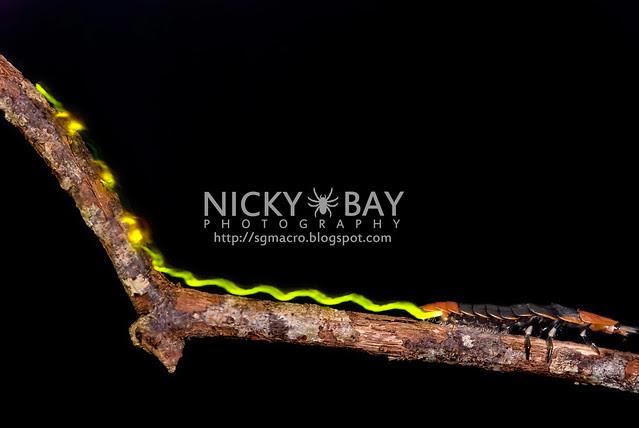 Firefly larva (Lampyridae) - DSC_5558