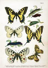 European butterfly