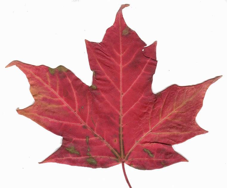 Aurora nekone n deka studio del freemotion da una - Foglia canadese contorno foglia canadese ...