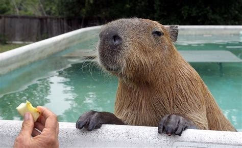 We need a capybara for president   Chicago Tribune