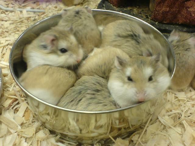 Beautifull Hot Wallpapers: pictures of hamsters at petsmart