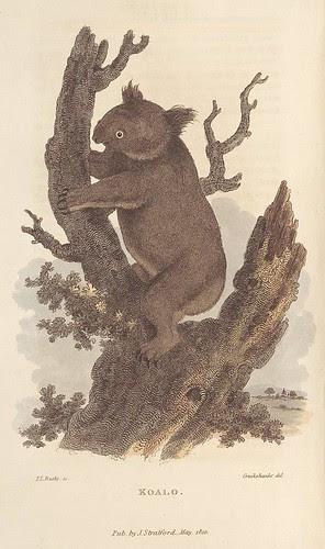 Koalo (1810) in Arcana... (NLA)