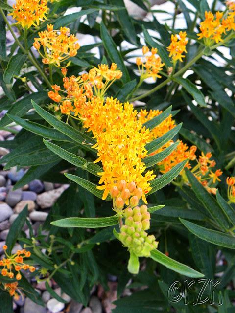 DSCN1801 Butterfly Weed
