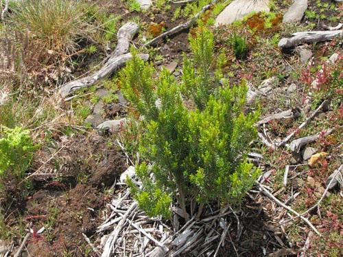 Foto 11-Urze das vassouras (Erica platycodon subsp. maderincola)