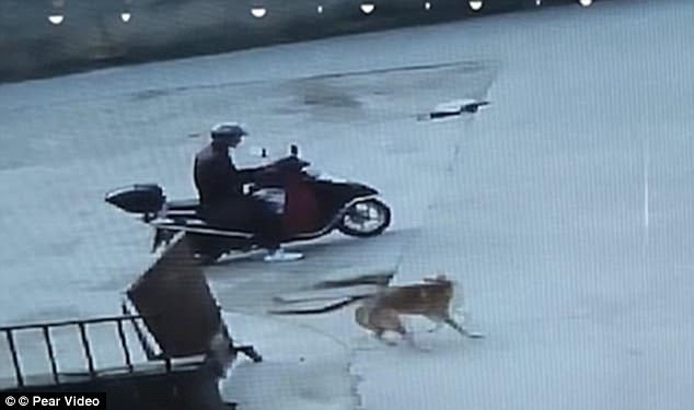 The use of poison in stealing or killing pet dogs is a common practice in China. Above, a suspected dog-thief shoots a dart into a pooch attached to a gate in Guali Town in November