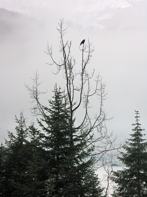 raven on a tree near Mendenhall Glacier, Juneau, Alaska