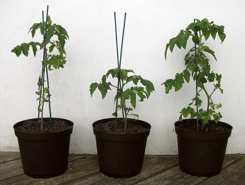 tomato plants (pre-tomato)