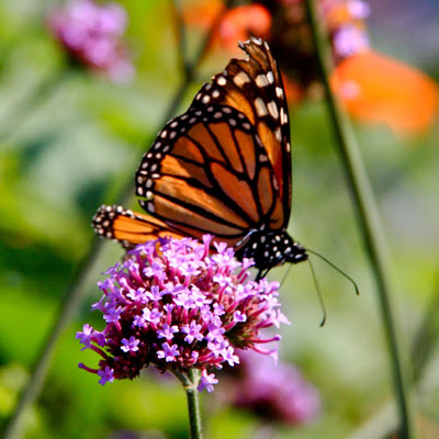 Attract Hummingbirds and Butterflies With Native Plants