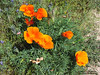 Cluster of poppies