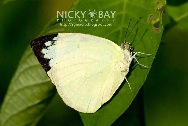 Mottled Emigrant (Catopsilia pyranthe) - DSC_9360