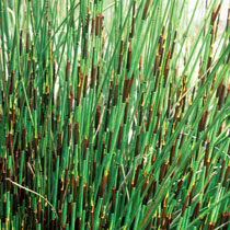 Bbc Gardening Plant Finder Cape Thatching Reed