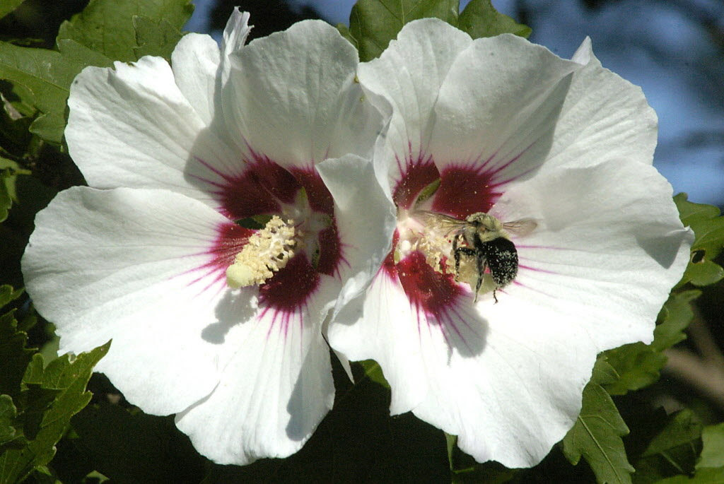 A Few Ways To Curb Rose Of Sharon Seeds Ask The Ground Crew
