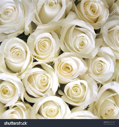 White Roses Background Stock Photo 83361499   Shutterstock
