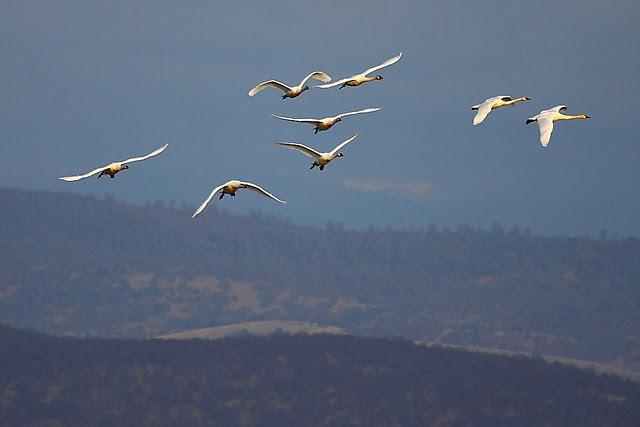 IMG_4541 Tundra Swan