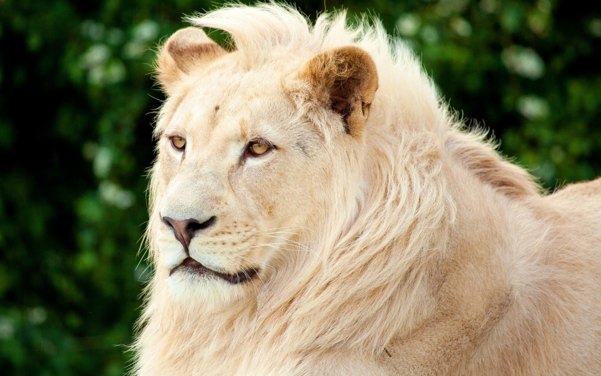 White Lion Animal Wallpaper Hd