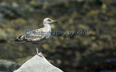 a young gull standing atop a pointed rock