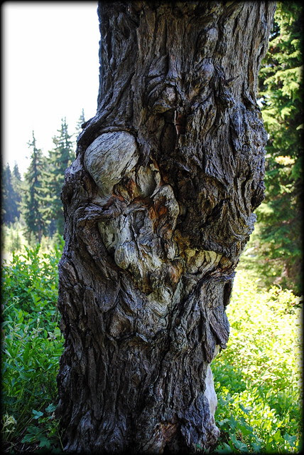 a gnarly tree along the Paradise Park Loop trail - Mt. Hood