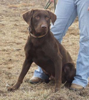 Lance: Chesapeake Bay Retriever, Dog; Valley Falls, KS