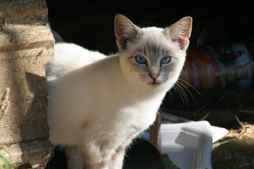 Young Mostly White Feral Cat