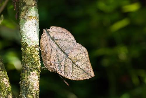 Kallima limborgii amplirufa (The Leaf Butterfly) DSC_5636 copy