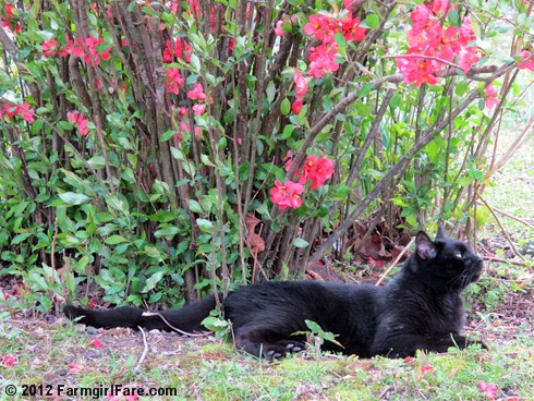 Mr. Midnight under the flowering quince - FarmgirlFare.com