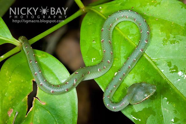 Wagler's Pit Viper (Tropidolaemus wagleri) - DSC_5296