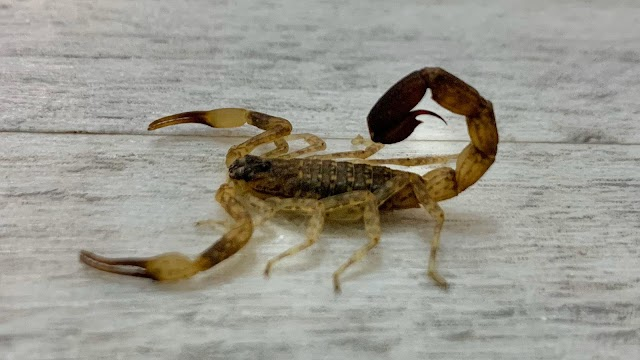 Venomous scorpion secretly lives with family for a week after stowing away in their luggage