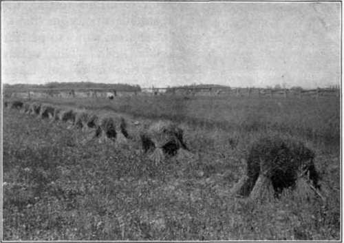 Fig. 104.   The stooks of flax.