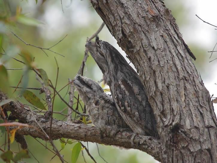 Podargus strigoides camuflaje (6)