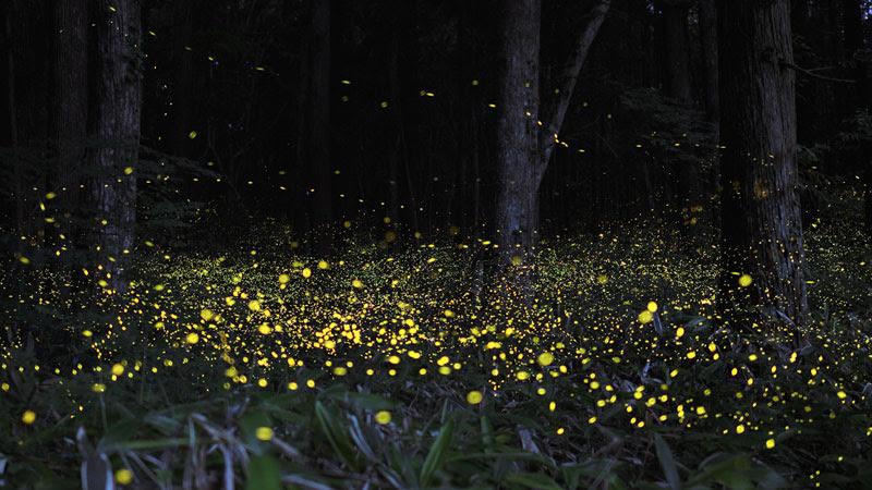 long-exposure-photos-of-fireflies-at-night-Tsuneaki Hiramatsu (4)